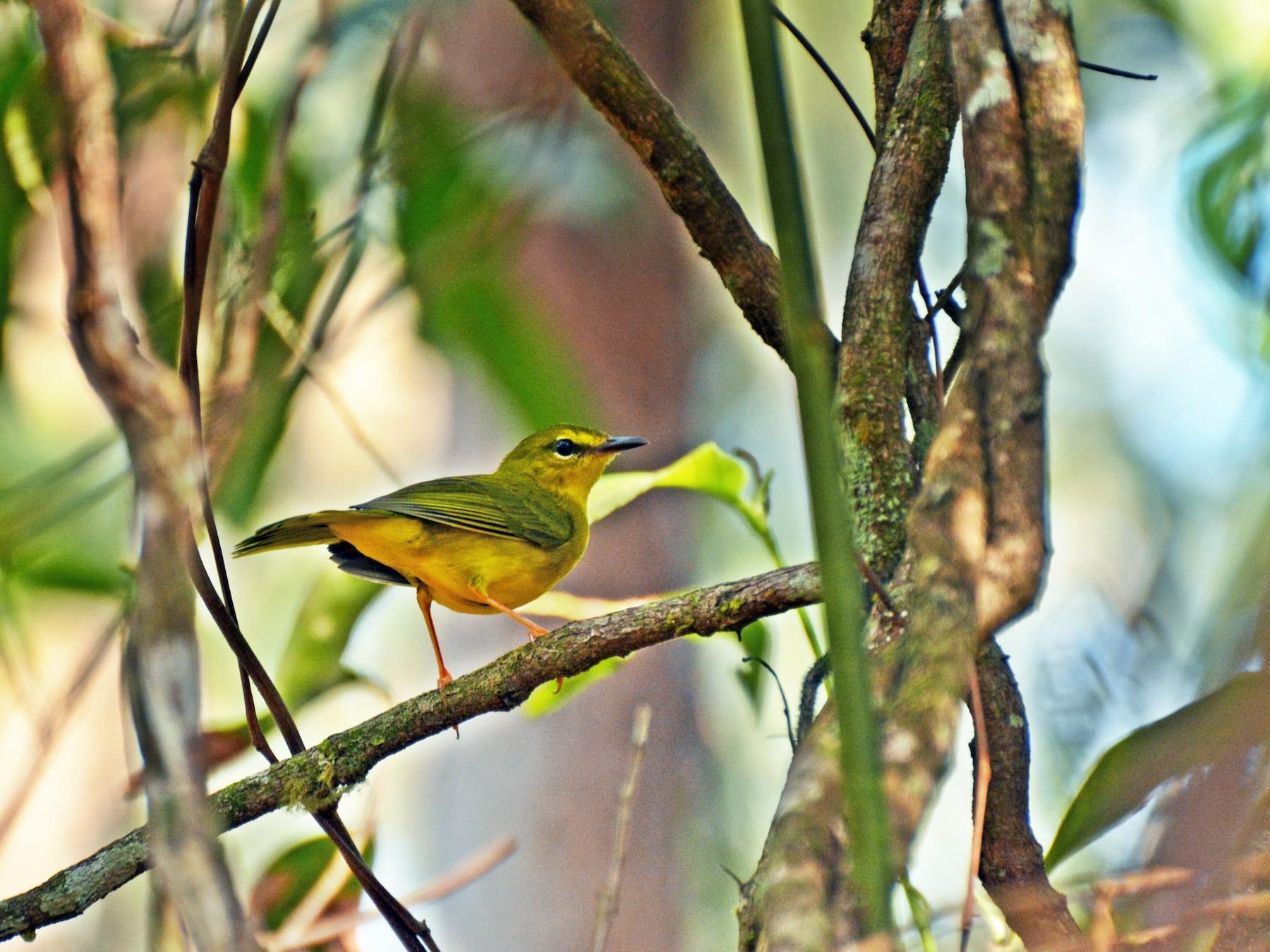 Flavescent Warbler - Henry Cook