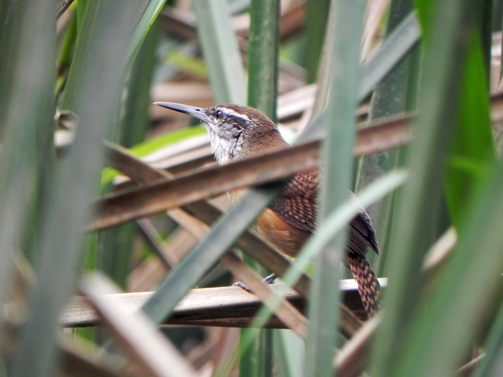 Long-billed Wren - Helbert Noventa