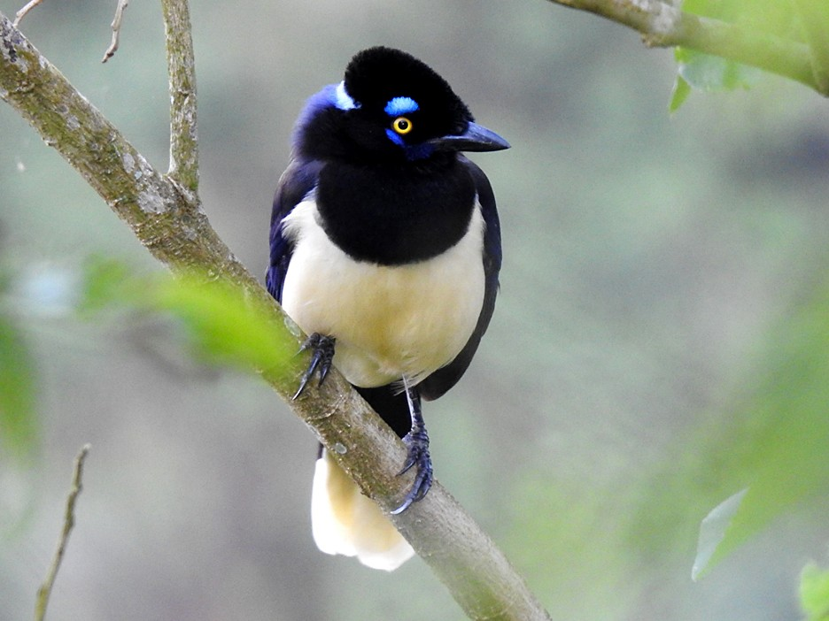 Plush-crested Jay - Richard Garrigues