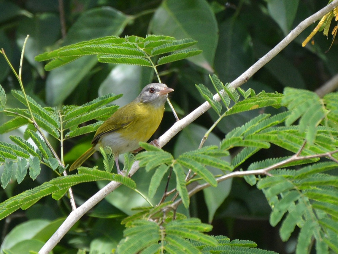 Ashy-headed Greenlet - Henry Cook
