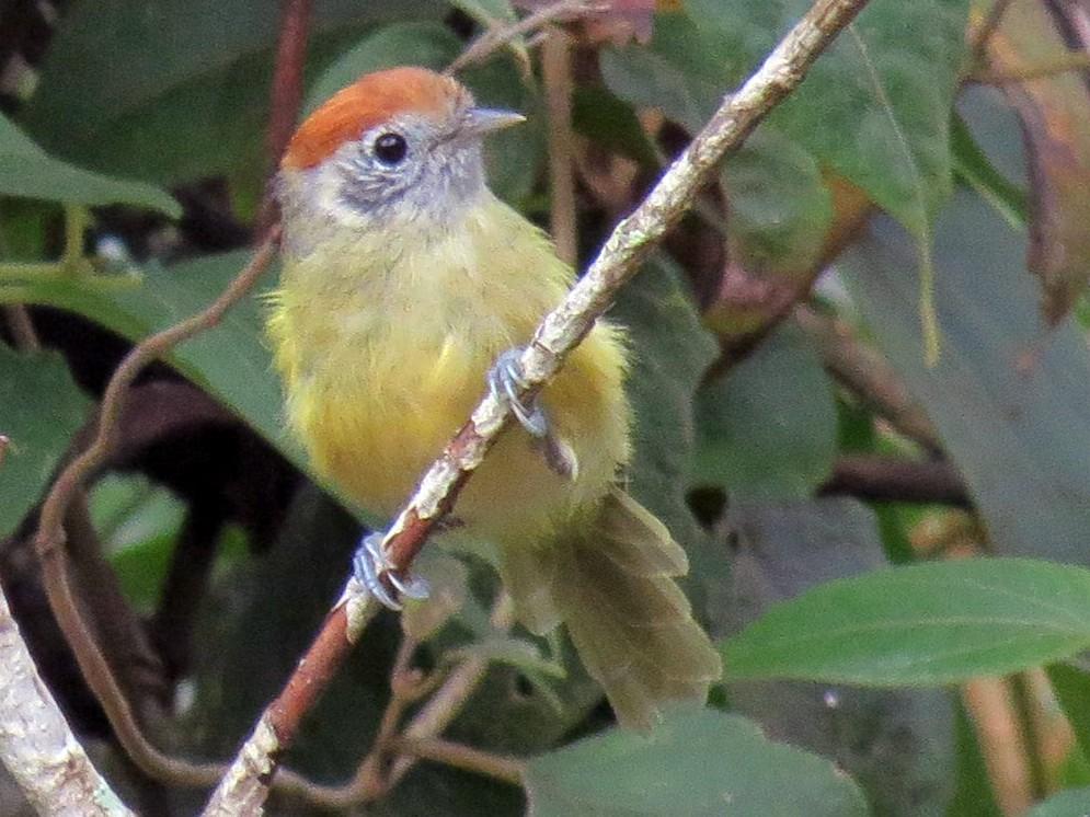 Rufous-crowned Greenlet - Olívia  Suzuki