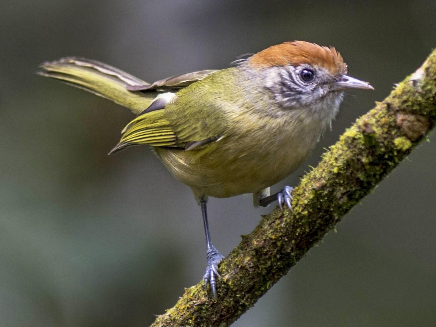 Rufous-crowned Greenlet - Hudson - BirdsRio