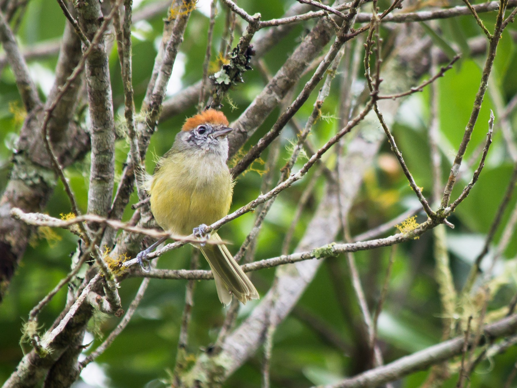 Rufous-crowned Greenlet - André  Zambolli