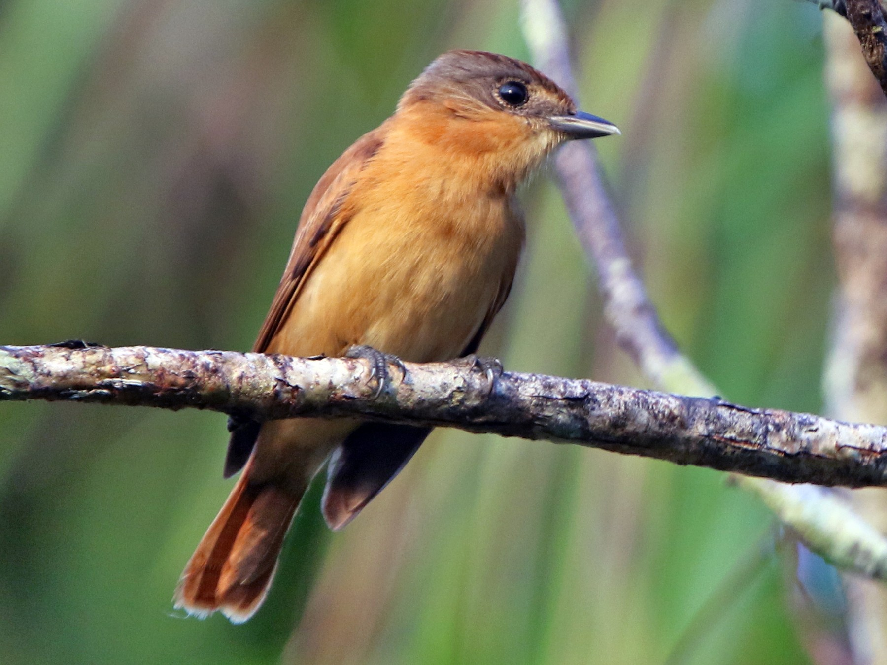 Chestnut-crowned Becard - Thompson Ian