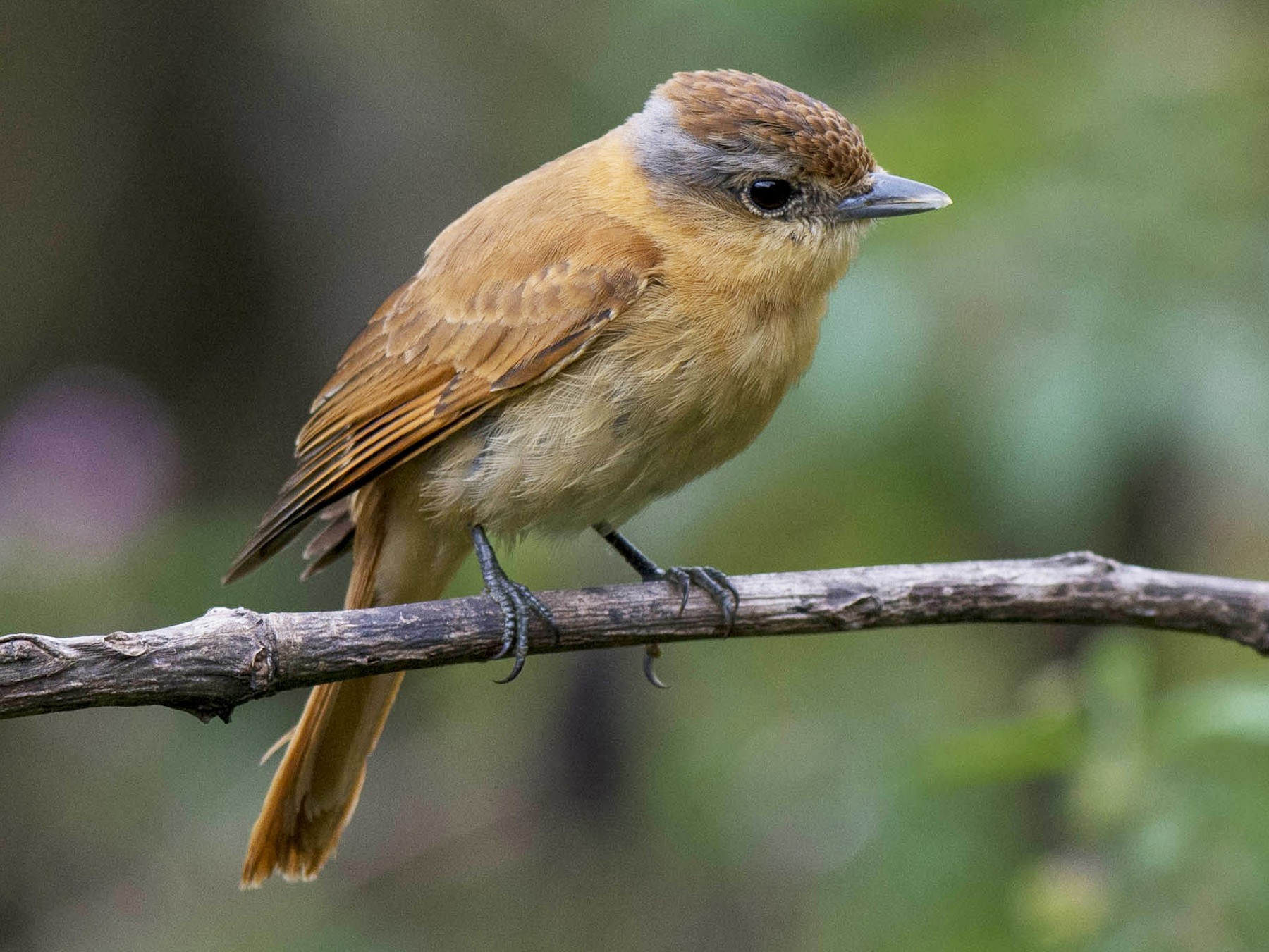 Chestnut-crowned Becard - Hudson - BirdsRio