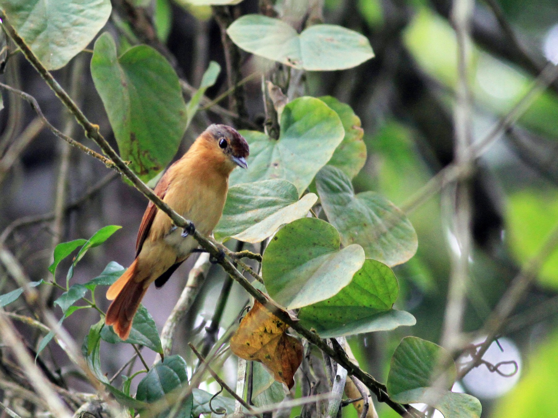 Chestnut-crowned Becard - Jay McGowan