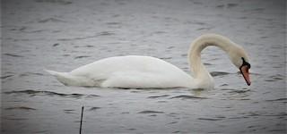 Mute Swan, ML87831651