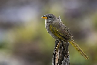 - Pale-throated Pampa-Finch