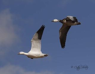 Snow Goose, ML87849131