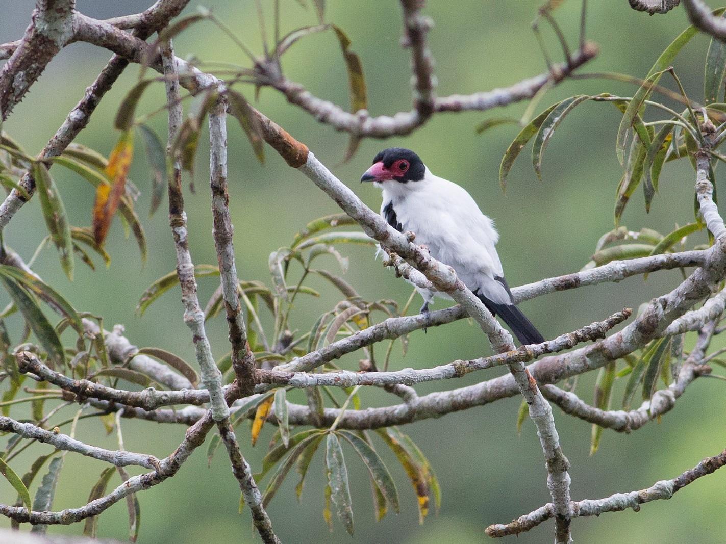 Black-tailed Tityra - Darren Clark