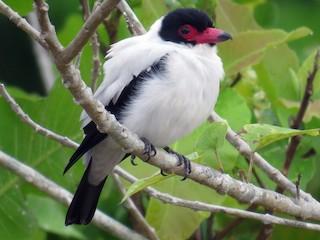 - Black-tailed Tityra
