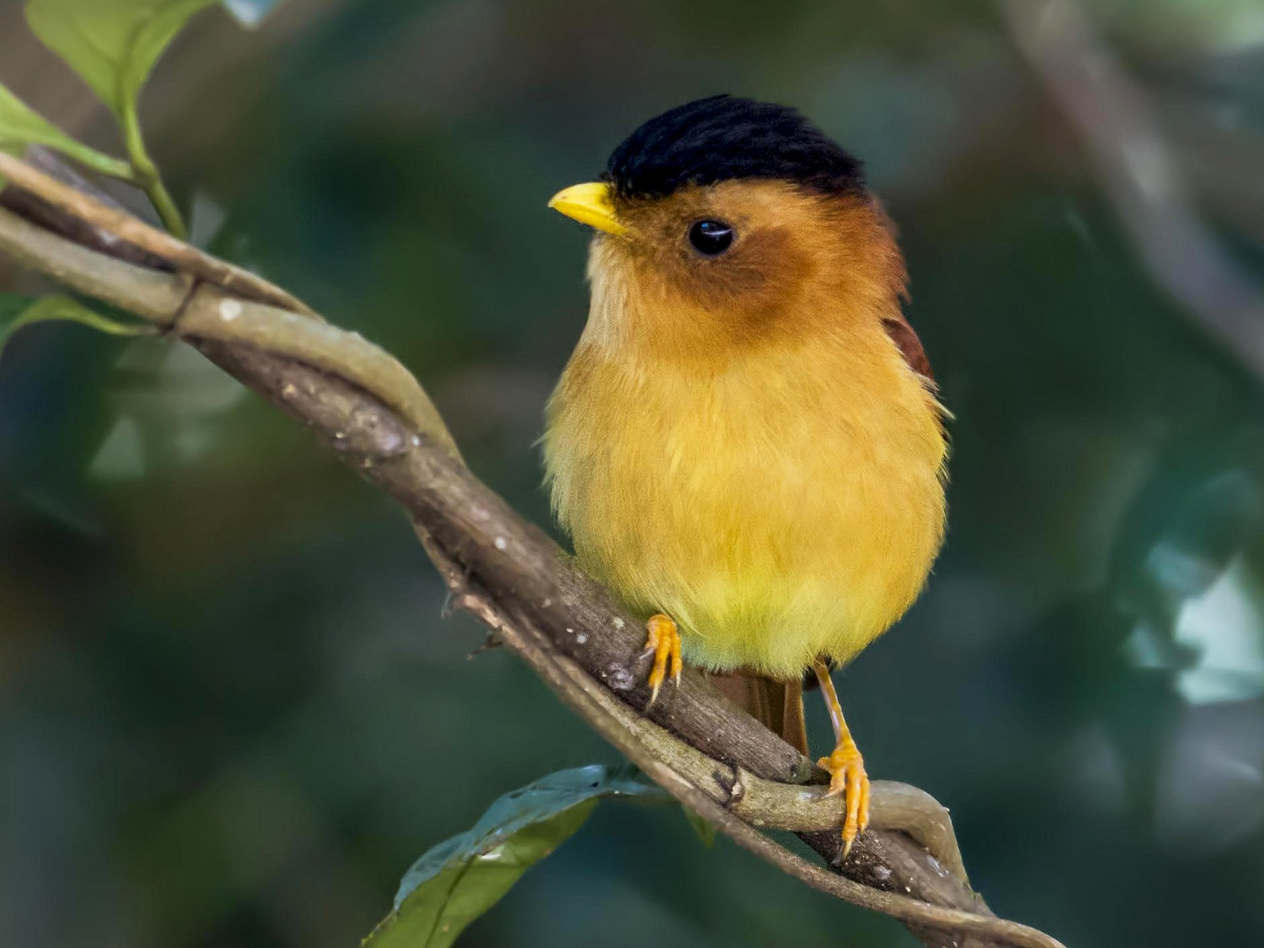 Black-capped Piprites - Hudson - BirdsRio