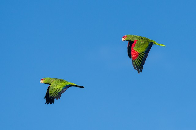 Red-spectacled Parrot