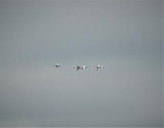 Tundra Swan, ML87995901