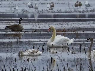 Mute Swan, ML88061051