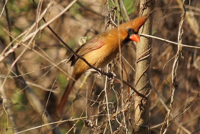 Female Northern Cardinal (presumed subspecies <em>carneus</em>).