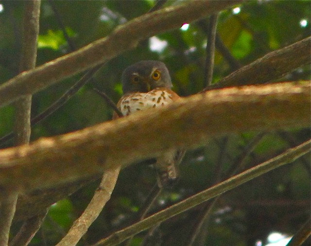 Red-chested Owlet