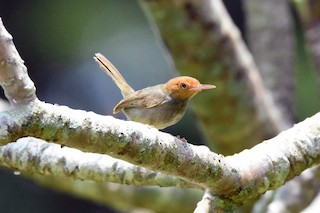 - Olive-backed Tailorbird