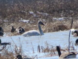 Trumpeter Swan, ML88220061