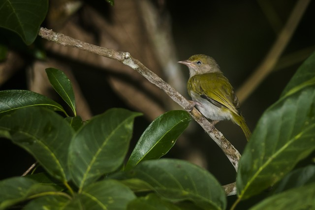 Gray-chested Greenlet