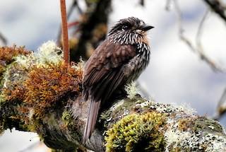 - Black-streaked Puffbird