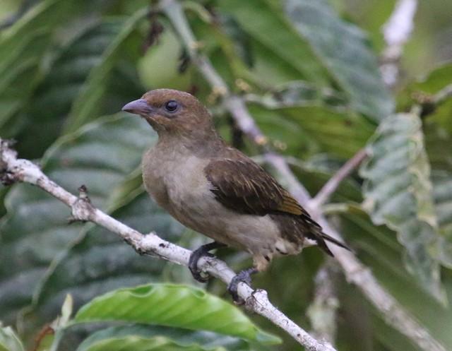 Lyre-tailed Honeyguide