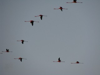 American Flamingo, ML88405761