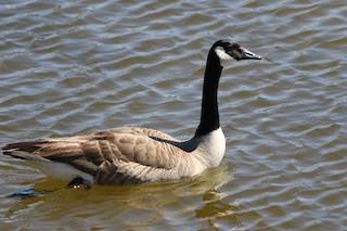 Canada Goose, ML88428921
