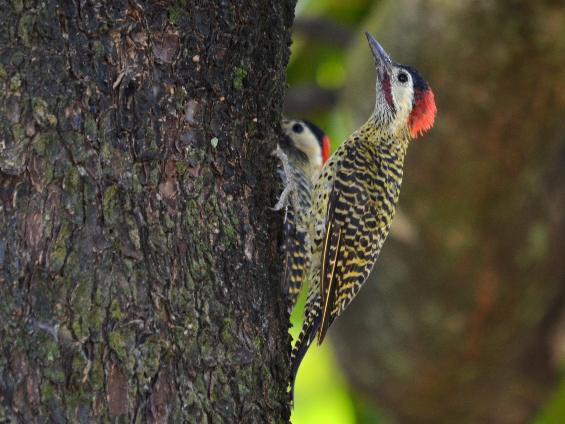 Green-barred Woodpecker - Luiz Carlos Ramassotti