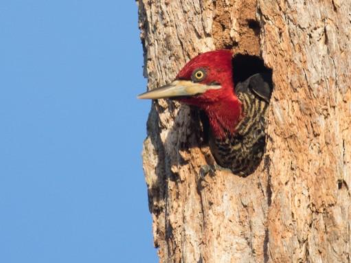 Robust Woodpecker - Norton Santos