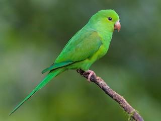 - Plain Parakeet