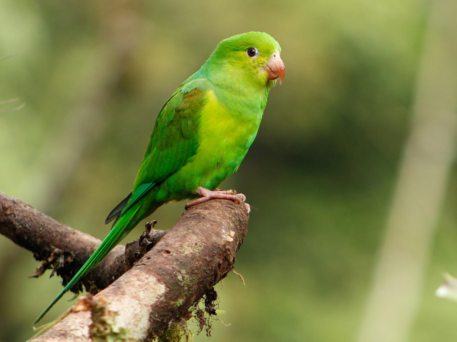 Plain Parakeet - Bruno Arantes de Andrade Bueno