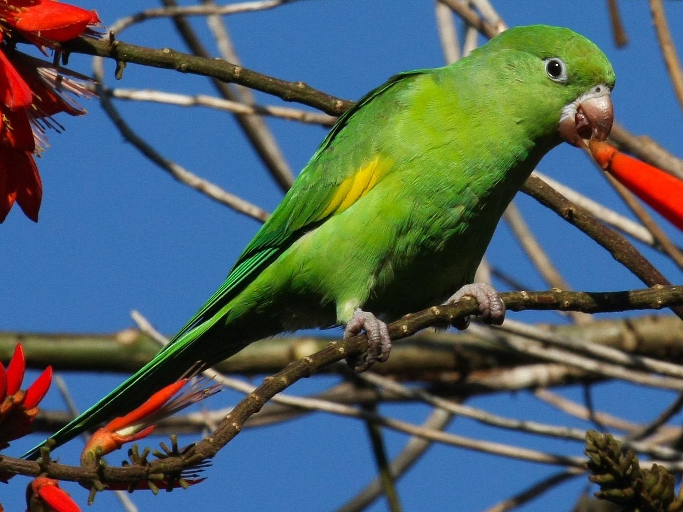Yellow-chevroned Parakeet - Don Sterba