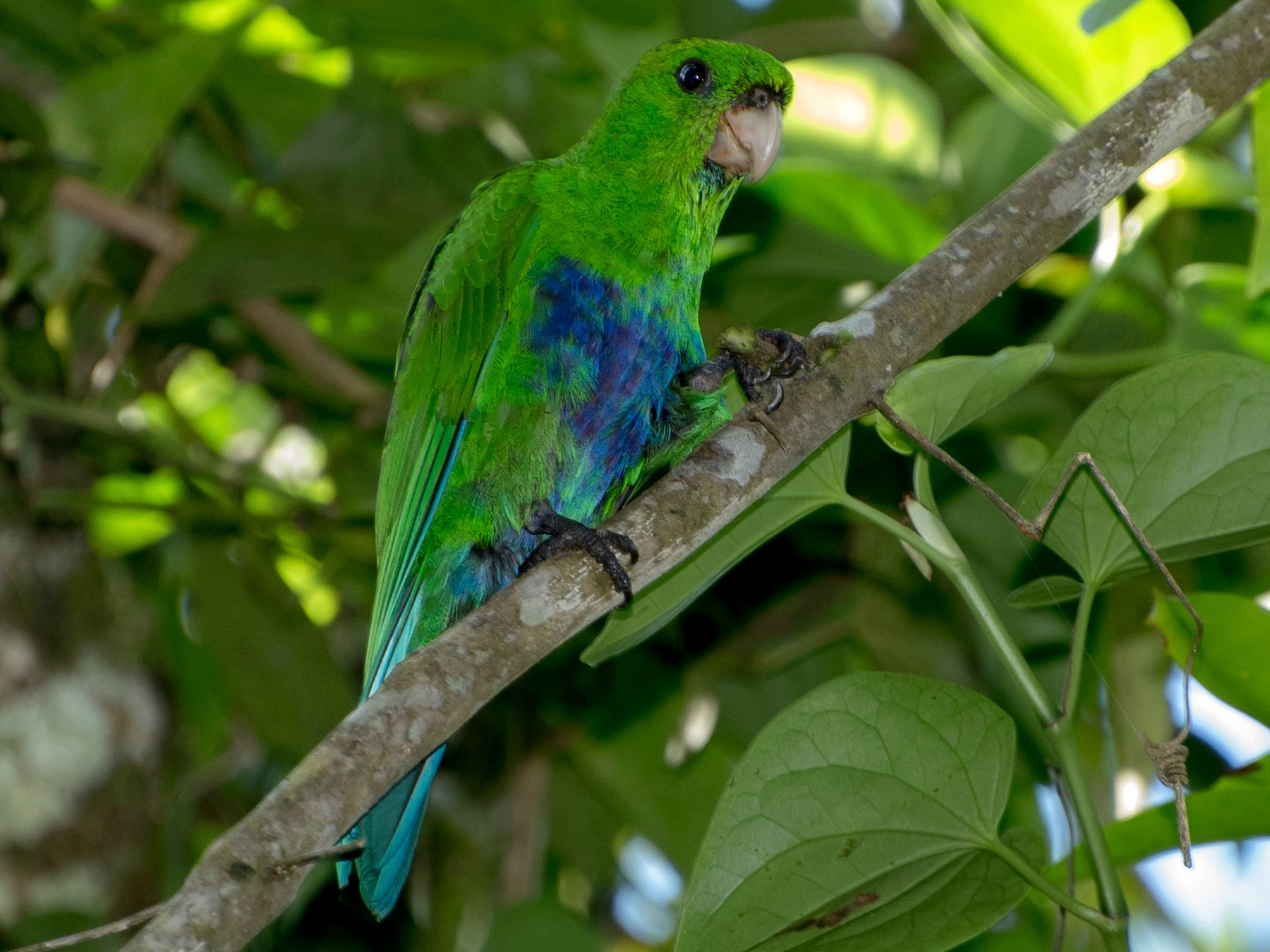 Blue-bellied Parrot - Luiz Carlos Ramassotti