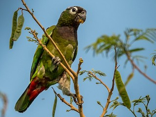 - Scaly-headed Parrot