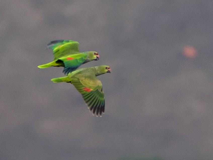 Vinaceous-breasted Parrot - Borralharas  Birding