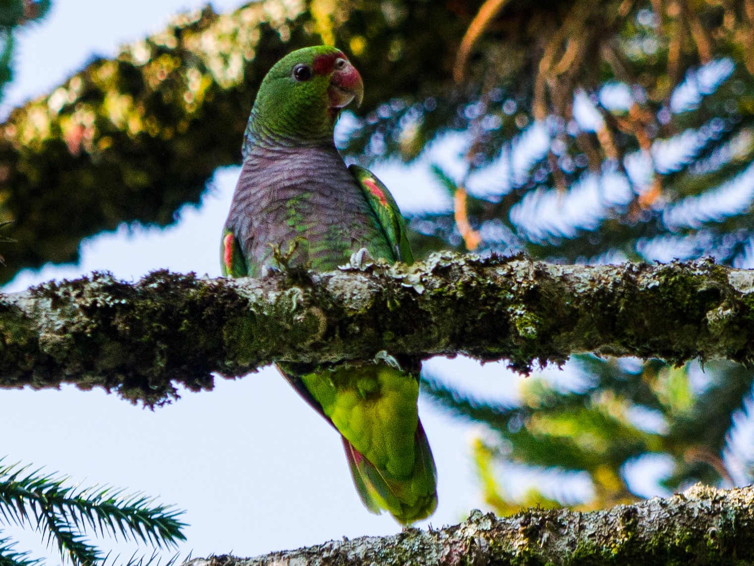 Vinaceous-breasted Parrot - Maiara Vissoto
