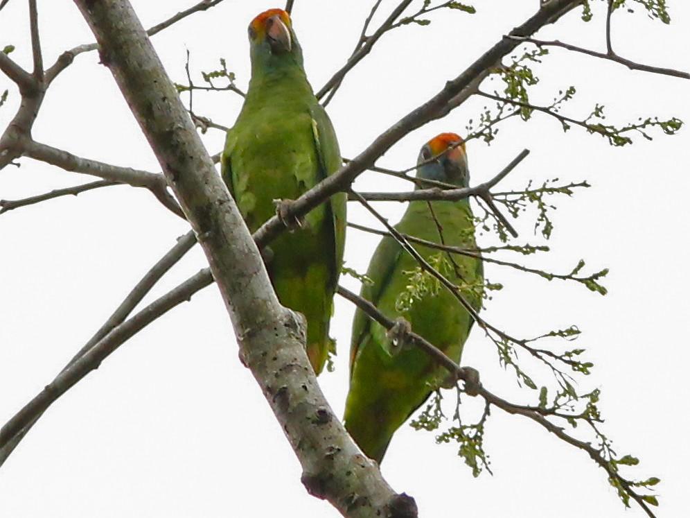Red-browed Parrot - Dave Czaplak