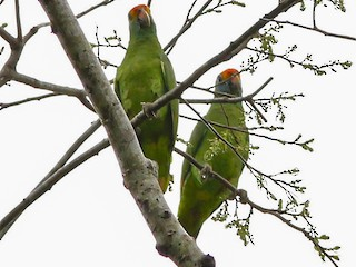 - Red-browed Parrot