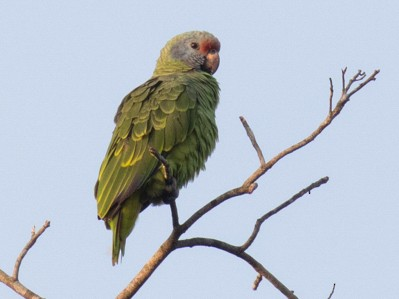 Red-tailed Parrot - Norton Santos