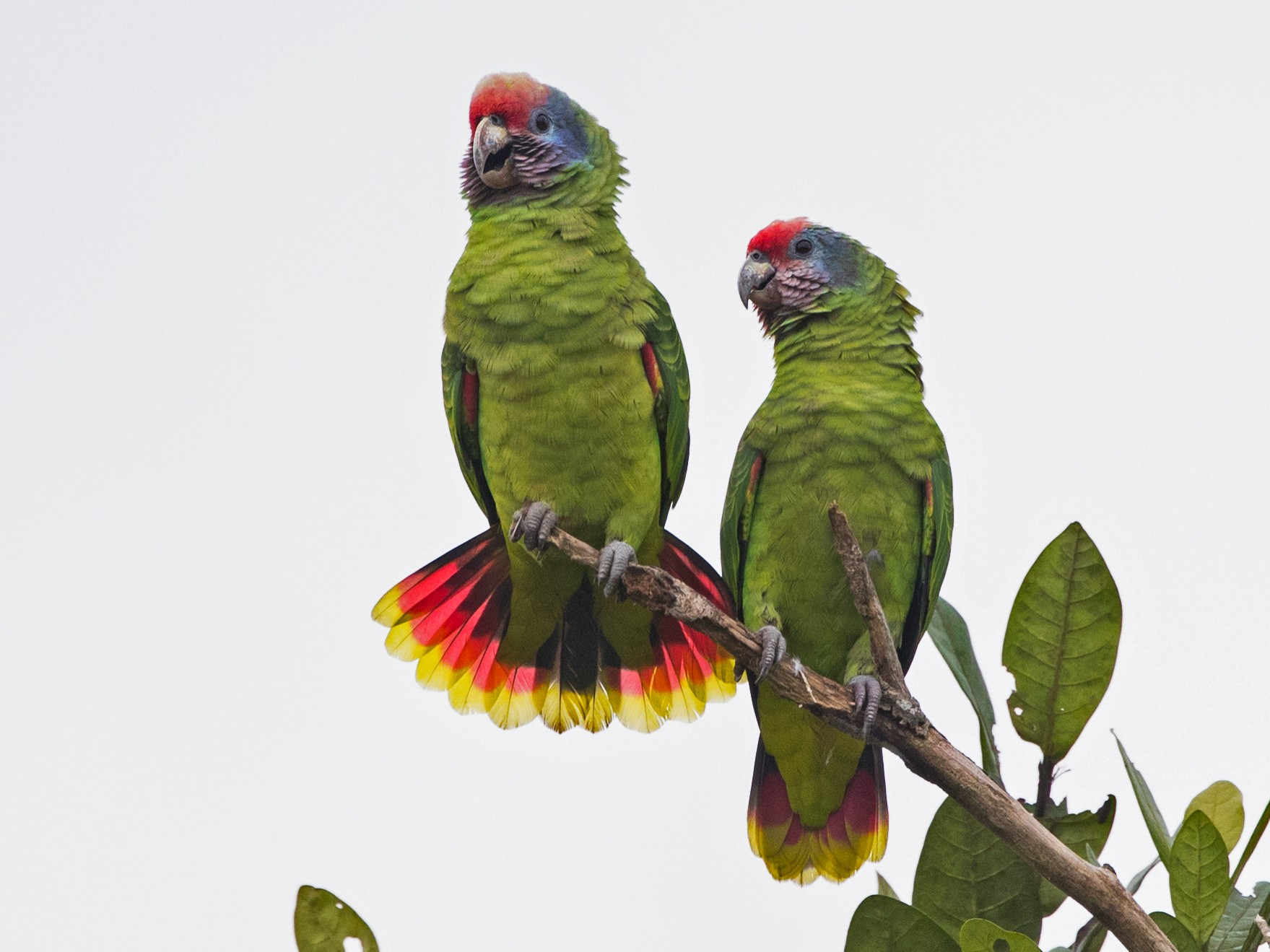 Red-tailed Parrot - Ciro Albano