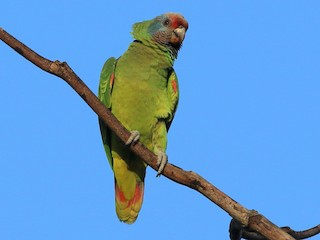 - Red-tailed Parrot