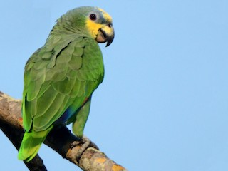 - Orange-winged Parrot