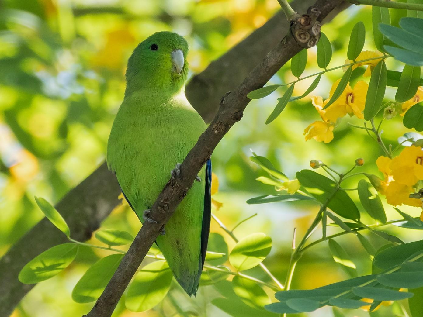 Blue-winged Parrotlet - Flavio Moraes