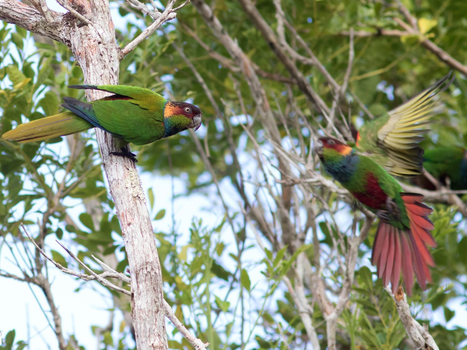 Ochre-marked Parakeet - Caio Brito
