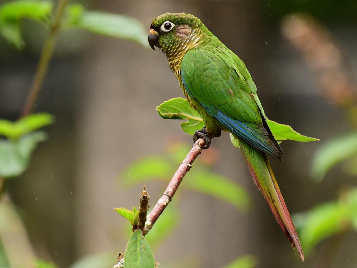Maroon-bellied Parakeet - Luiz Moschini