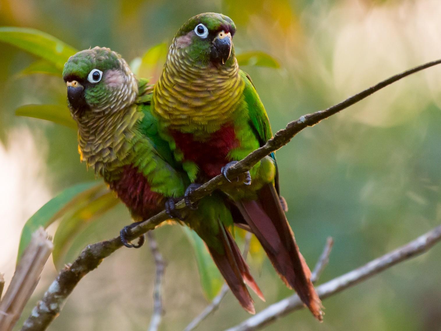 Maroon-bellied Parakeet - Joao Quental JQuental