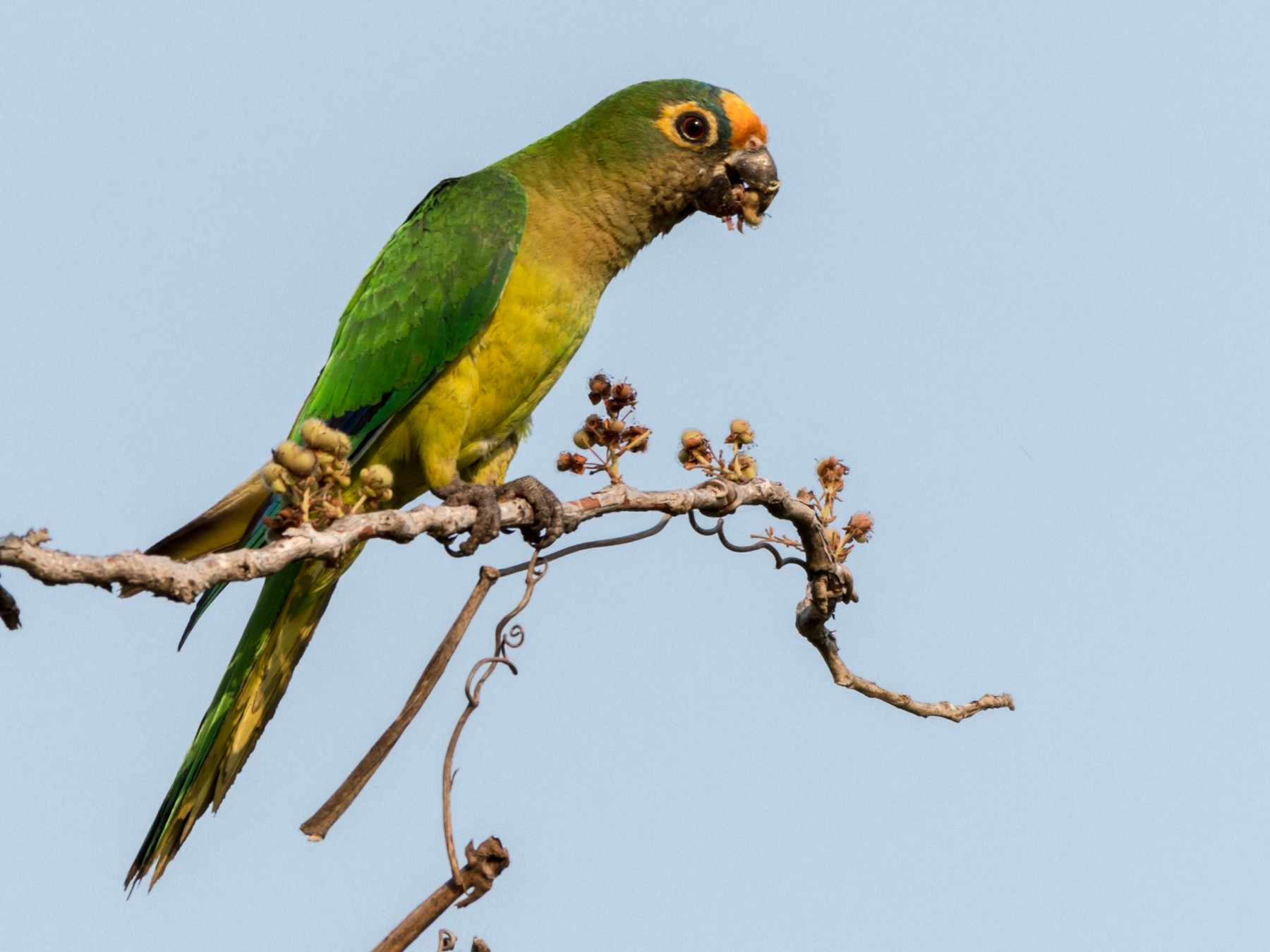 Peach-fronted Parakeet - Michael Plaster