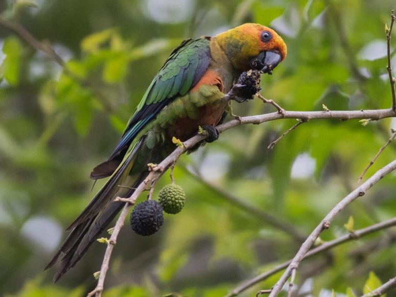 Golden-capped Parakeet - Tom Johnson