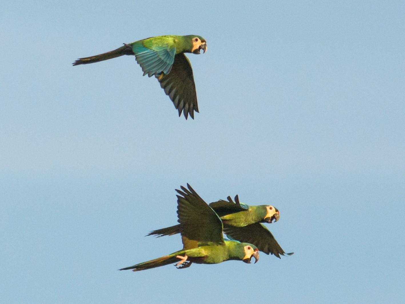 Blue-winged Macaw - Hudson - BirdsRio